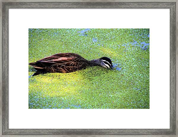 Pacific Black Duck In Algae Framed Print