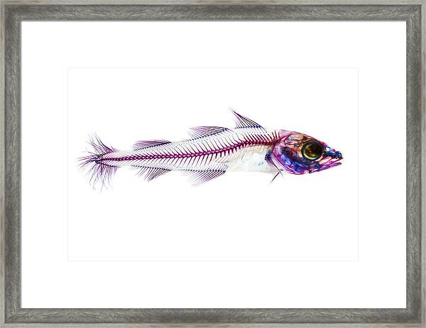 Pacific Cod Framed Print by Adam Summers