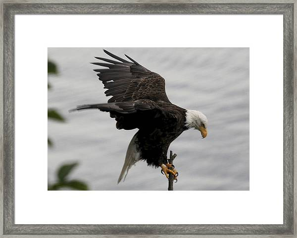 Pacific Northwest Eagle  Framed Print by Mary Gaines