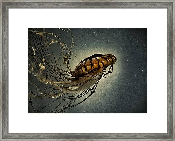 Pacific Sea Nettle Framed Print