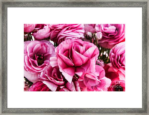 Paint Me Pink Ranunculus Flowers By Diana Sainz Framed Print