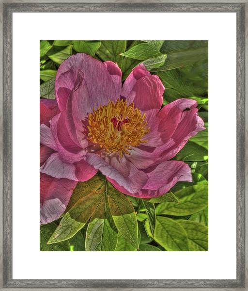 Painterly Peony Framed Print