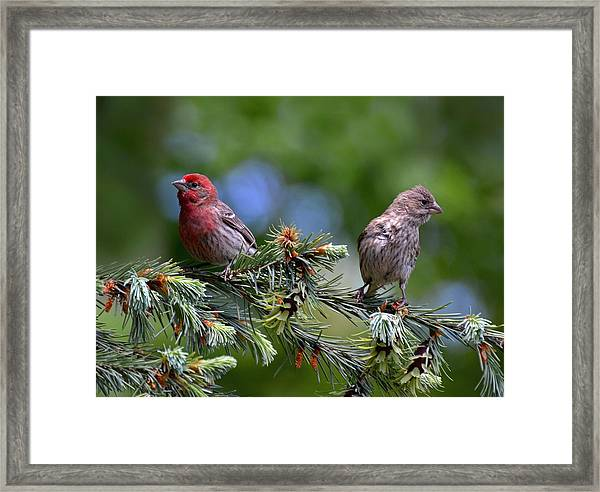 Pair Of Purple Finches Framed Print