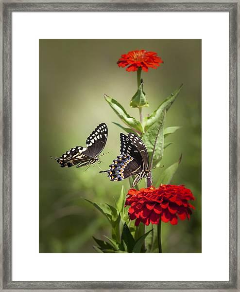 Palamedes Swallowtail Butterflies Framed Print