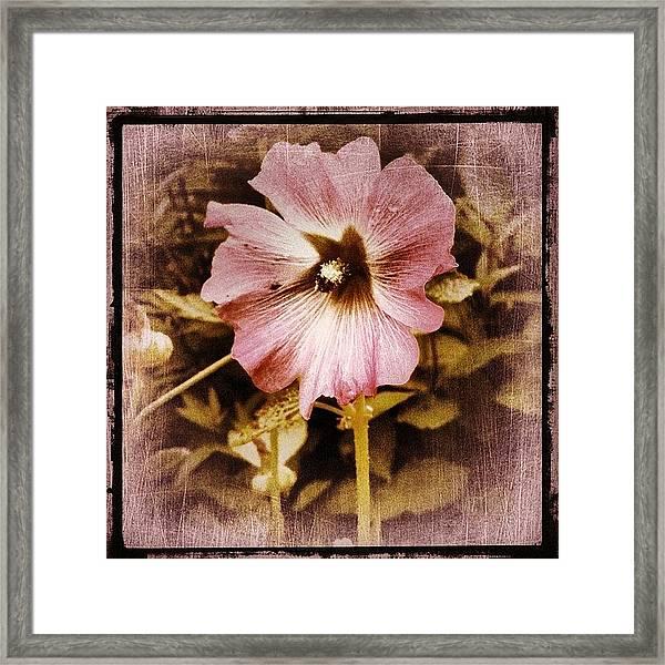 Pale Pink Framed Print