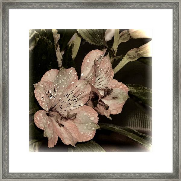 Pale Pink Lilies On Dark Background Framed Print