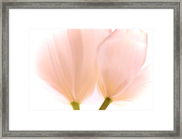 Pale Pink Tulips With Vignette Framed Print