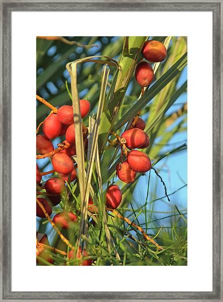 Palm Tree Dates Framed Print