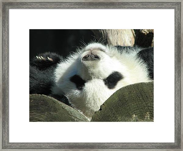 Panda Playing Possum Framed Print