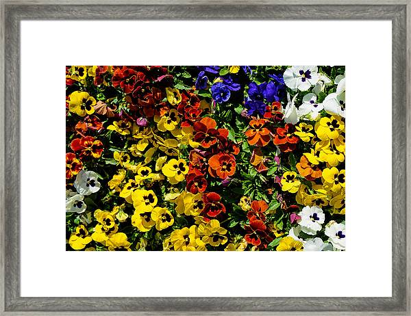 Pansy Color Mix  Framed Print
