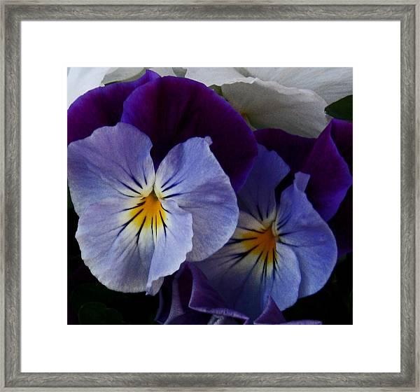 Pansy Delight Framed Print