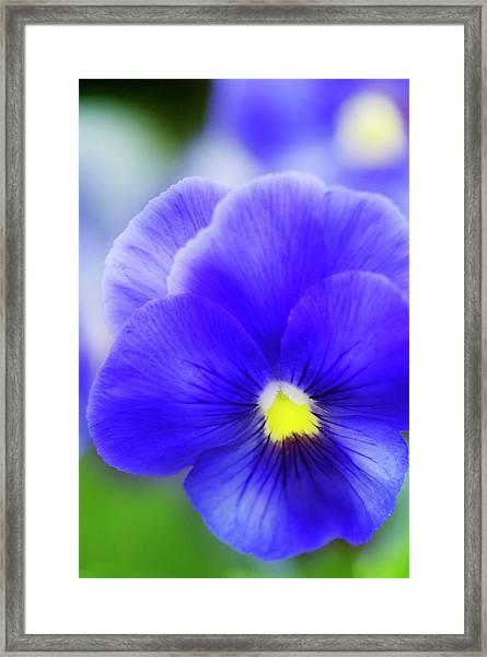 Pansy (viola Tricolor) Framed Print