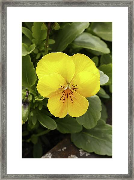 Pansy (viola Tricolor 'yellow Deli') Framed Print