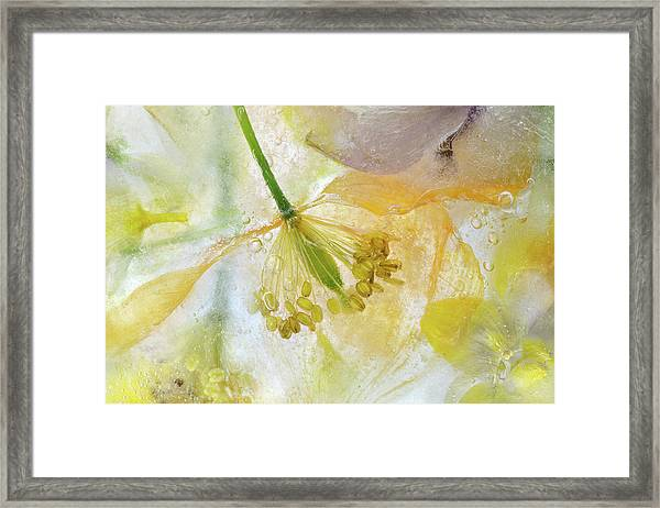 Papaver Ice Framed Print by Mandy Disher