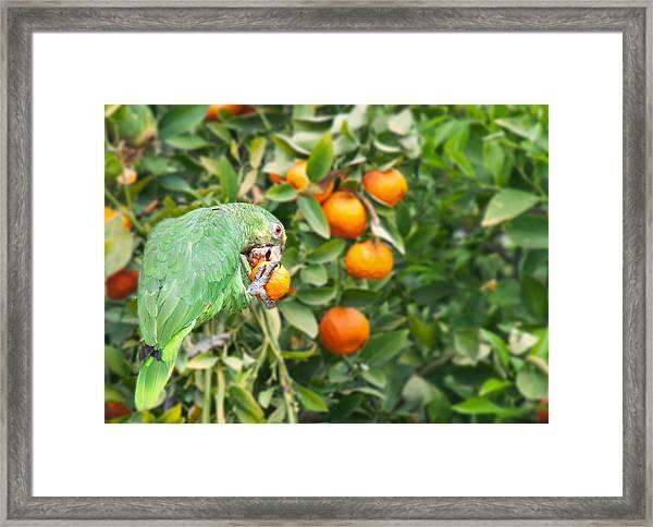 Pasadena Parrot Framed Print