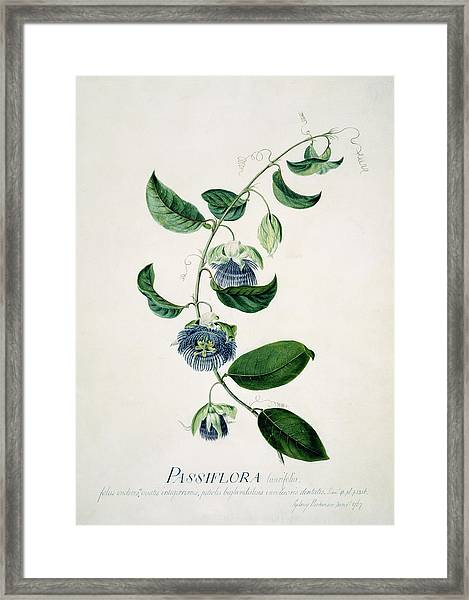 Passion Flower Framed Print by Natural History Museum, London/science Photo Library