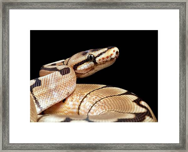 Pastel Variant Royal Python Framed Print