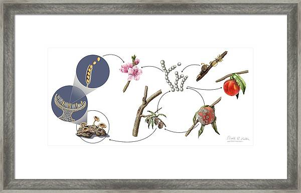 Peach Brown Rot Life-cycle Framed Print by Nicolle R. Fuller/science Photo Library