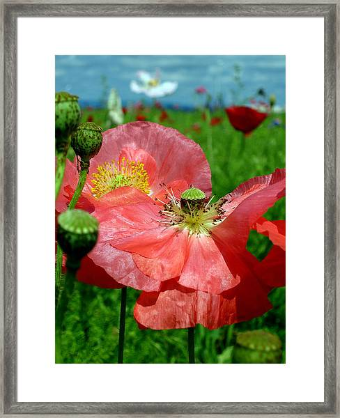 Peach Poppy Pods Framed Print