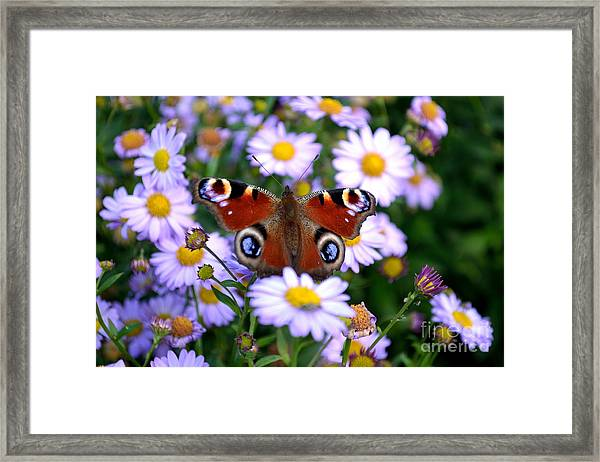 Peacock Butterfly Perched On The Daisies Framed Print