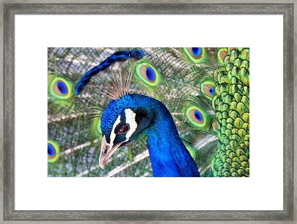 Peacock Crown 1 Framed Print