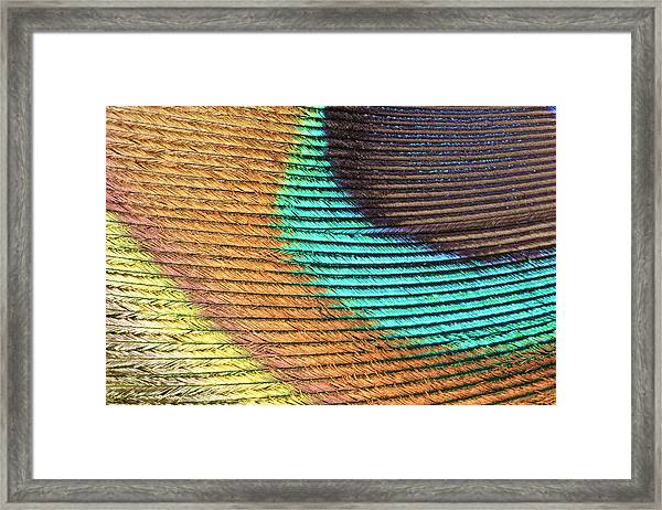 Peacock Feather Framed Print by Ted Kinsman/science Photo Library