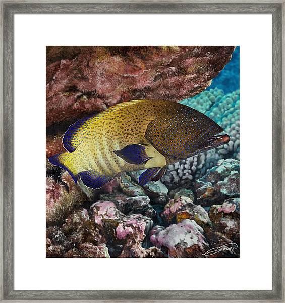 Peacock Grouper Framed Print by Owen Bell