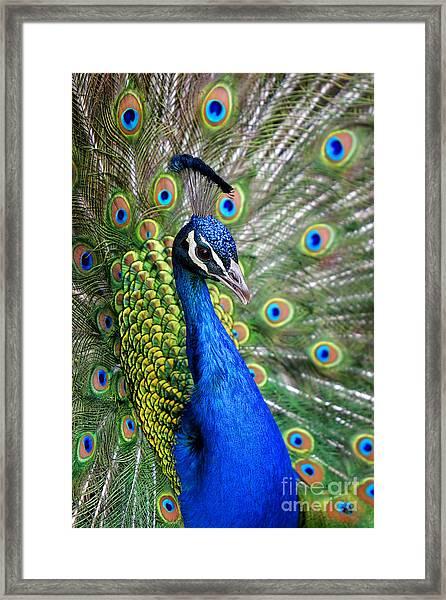 Peacock On Display Framed Print