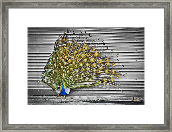 Peacock Framed Print by Williams-Cairns Photography LLC