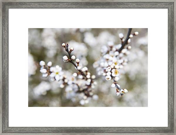 Pearls Of Blackthorn Framed Print