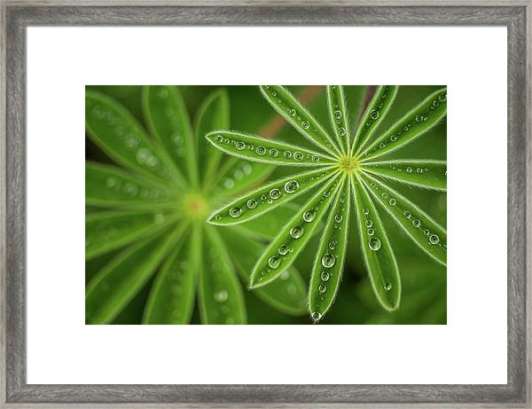 Pearly Lupine Framed Print