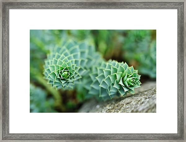 Pearly Succulents Framed Print