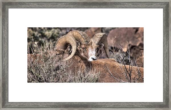 Peekaboo Bighorn  Framed Print