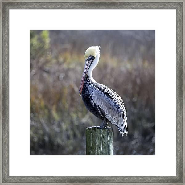 Pelican 04-b Framed Print