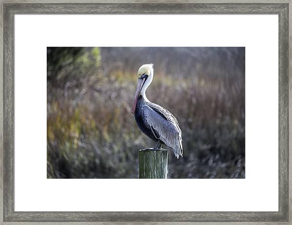 Pelican 04 Framed Print