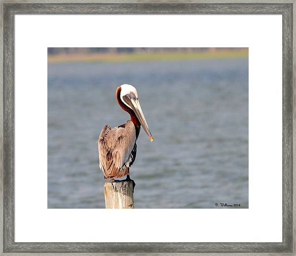 Pelican Eyes The Photographer Framed Print