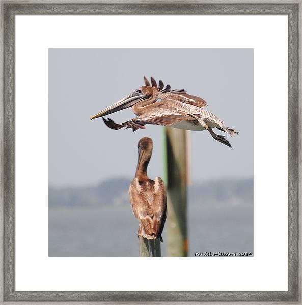 Pelican Flyover Framed Print
