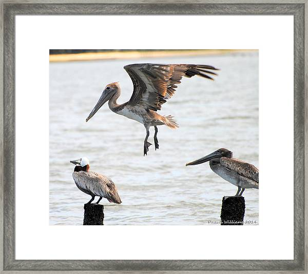 Pelican Landing Framed Print