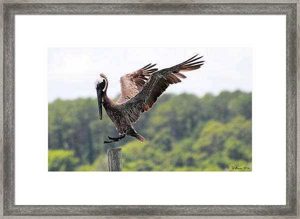 Pelican Touchdown Framed Print