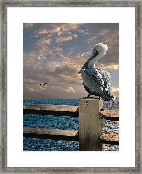 Pelicans Of Tampa Bay Framed Print by M Spadecaller