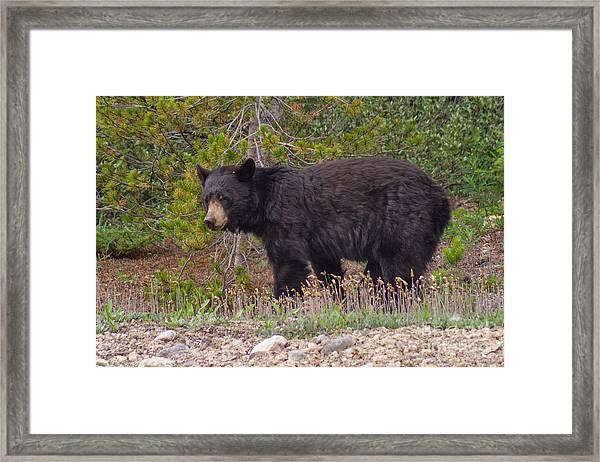 Pensive Black Bear Framed Print