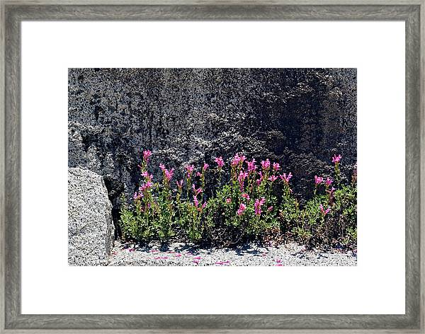 Penstemon Newberryi Framed Print