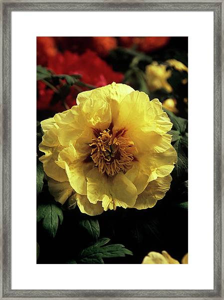 Peony (paeonia 'golden Isle') Framed Print by Ian Gowland/science Photo Library