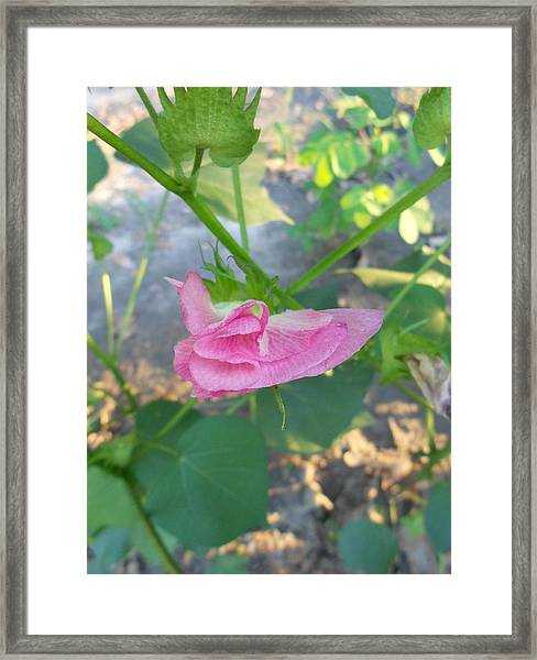 Peppermint Twist #4- Blooming Cotton Series - 8/22/2012 Framed Print by Dianna Jackson