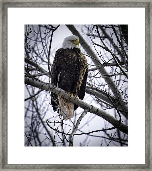 Perched Adult American Bald Eagle Framed Print
