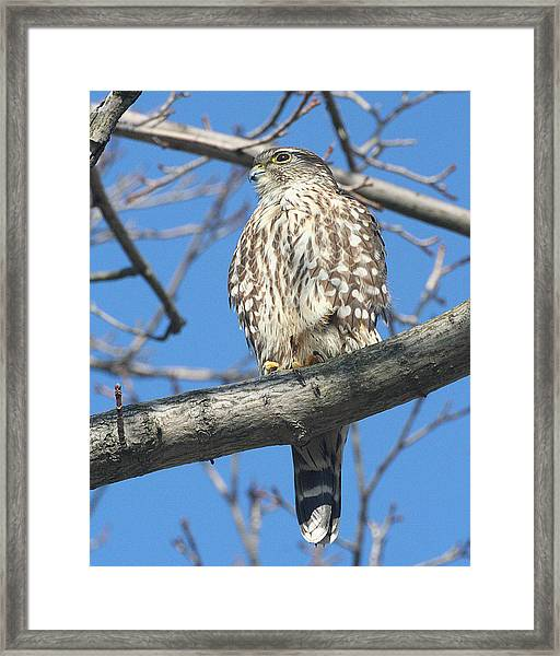 Perched Merlin Framed Print