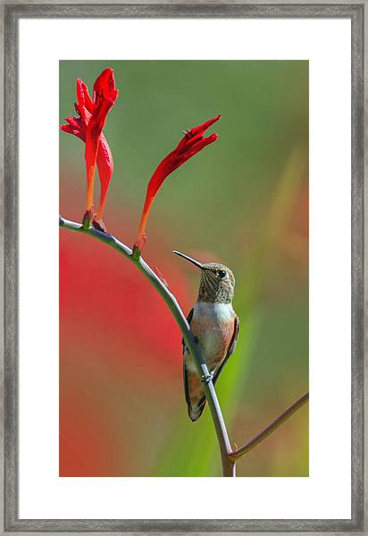 Perched On Crocosmia Framed Print