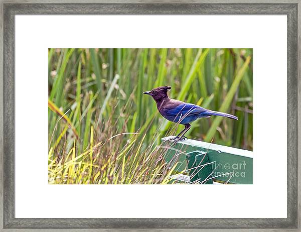 Perching Jay Framed Print