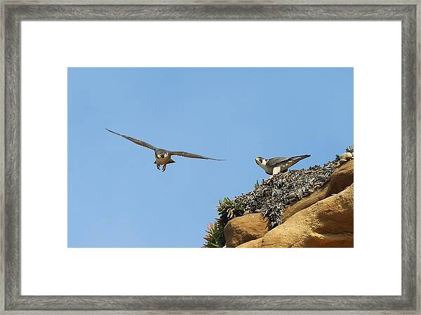 Peregrine Falcons - 1 Framed Print