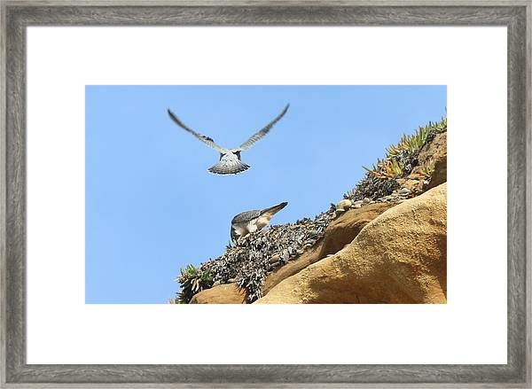 Peregrine Falcons - 2 Framed Print